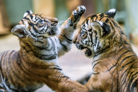 tygřata Wanita a Bulan - foto Zoo Praha